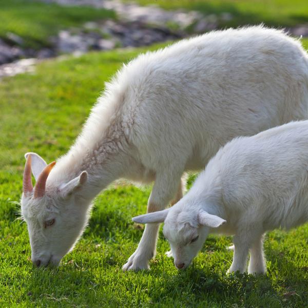 11 beneficios de la leche de cabra